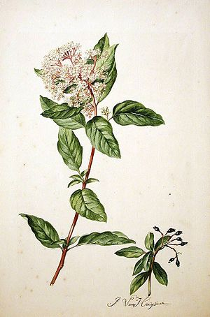 Viburnum tinus - Viburnum tinus by L. By Jacob van Huysum