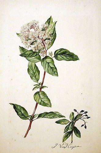 Jacob van Huysum - Viburnum tinus L.Catalogus Plantarum