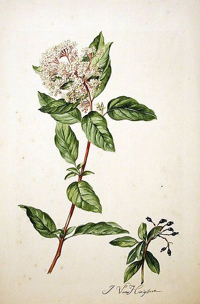 File:Viburnum tinus00.jpg