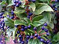 Viburnum tinus Fruits Closeup DehesaBoyalPuertollano.jpg