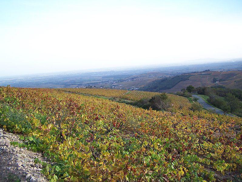 Fichier:Vignoble du Beaujolais.jpg