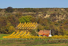 Vineyard near Kirchberg am Wagram