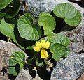 Viola crassa subsp. alpicola (Mount Cho).jpg