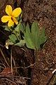 Viola lobata 4813.JPG