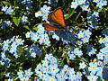 Violetter Ampferfeuerfalter, Mürringen, Ostbelgien (3939210494).jpg