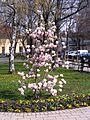 Virágzó tulipánfa. - panoramio.jpg