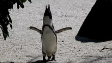 Fitxategi:Vocal-individuality-cues-in-the-African-penguin-(Spheniscus-demersus)-a-source-filter-theory-srep17255-s3.ogv