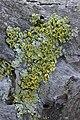 Vulpicida pinastri (30521169868).jpg