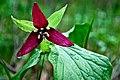 Wake-robin aka red trillium (13903893681).jpg
