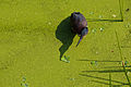 Wakodahatchee Green Heron.jpg