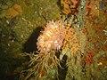 Walking anemone on Multicolour sea fan on SAS Transvaal DSC09130.JPG