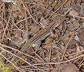 Wall Lizard. Podarsis muralis or P. vaucheri - Flickr - gailhampshire.jpg