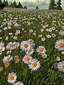 Wandering Daisies (3823863236).jpg