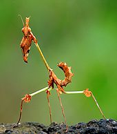 The thin-legged mantis Gongylus gongylodes