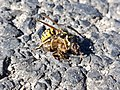 Wasp decapitating bee.jpg