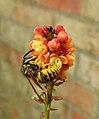 Wasp on Mahonia blossom (29582006730).jpg