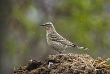 Water Pipit - Aosta Valley - Italy S4E3262 (14004406051).jpg