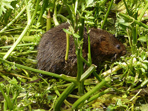 United Kingdom Biodiversity Action Plan - Water vole (Arvicola amphibius) - a 'Priority Species', listed in the UK BAP.