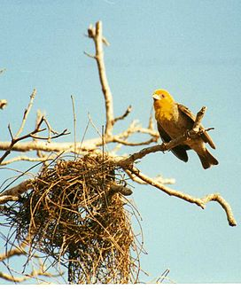 Weaver bird nesting (3445341247) crop.jpg