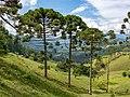 Webysther 20190413132108 - Araucária (Araucaria angustifolia).jpg