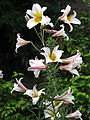Weiße Königs-Lilie (Lilium regale).jpg