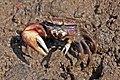 West African fiddler crab (Uca tangeri) male.jpg