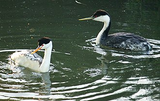 Alhambra Creek - Western grebe (right) and Clark's grebe (left) swimming in beaver pond