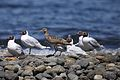 Whimbrel & Brown-hooded Gulls (4303147400).jpg