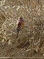 White-browed Tit Warbler (Leptopoecile sophiae) (15709052977).jpg