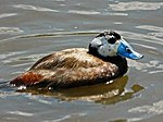 White-headed Duck.jpg
