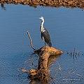 White-necked heron Burke River Boulia Queensland P1030493.jpg