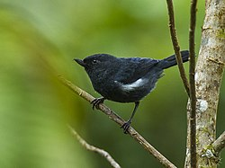White-sided Flowerpiercer - South Ecuador S4E2856 (23391895895).jpg