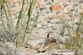 White-tailed antelope squirrel (Ammospermophilus leucurus), in habitat (26902296815).jpg