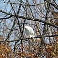 White Hawk (5107683009).jpg