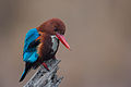 White Throated Kingfisher.jpg