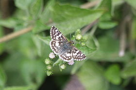 White checkered-skipper (Pyrgus albescens) dorsal 2.jpg