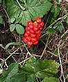 Wild Arum Fruit - geograph.org.uk - 216283.jpg