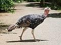 Wild Turkey in NEO PARK OKINAWA, Japan.jpg