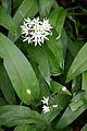 Wild garlic, Arran 04.jpg