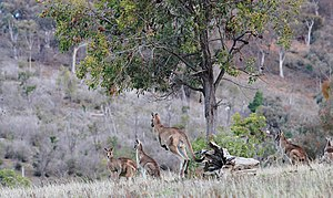 Eastern grey kangaroo - Eastern greys in native habitat