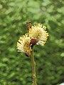 Wilgenkatjes (Salix) 01.JPG