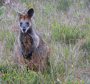 Wilsons Promontory - Swamp wallaby at Wilsons Promontory