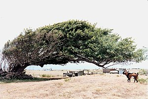 Ka Lae - Wind-blown tree