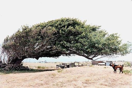 Wind-blown tree Ka Lae Hawaii