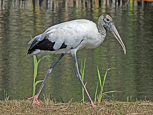 English: Wood Stork at Everglades National Par...