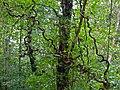 Woody Vines (15482147670).jpg
