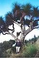 Xanthorrhoea australis 8 metres tall - Mt Cabrebald 22-4-00.jpg