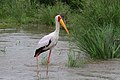 Yellow-billed Stork, Mycteria ibis at Kruger Park (13953793442).jpg