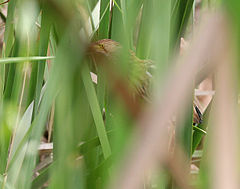 Yellow Bittern (Ixobrychus sinensis)- Immature in a Typha species in Kolkata W IMG 4652.jpg