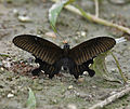Yellow Helen Papilio nephelus at Jayanti, Duars, West Bengal W IMG 5604.jpg